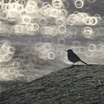 Fehmern Bird Bokeh