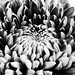 Dahlia in black & white