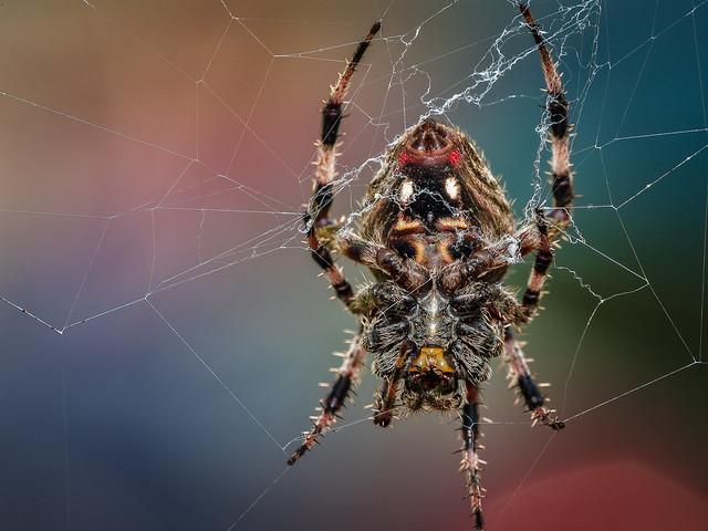 Spotted Orbweaver Spider, Panasonic DMC-GX8, Lumix G Vario 100-300mm F4.0-5.6 Mega OIS