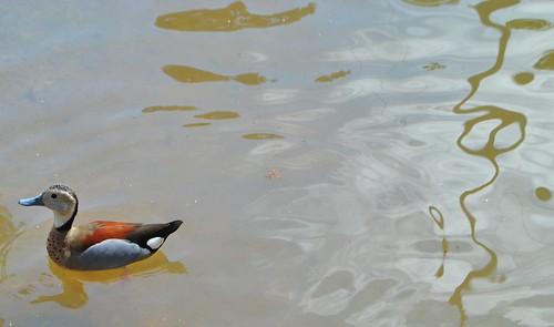 Le canard bariolé.