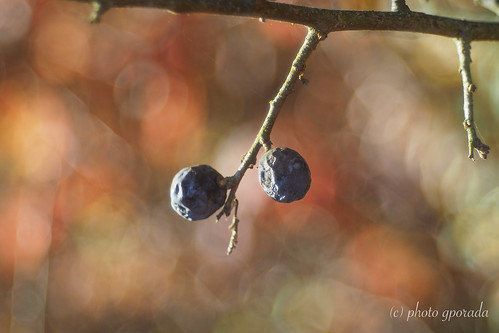 Last Autumn Fruits - Trioplan
