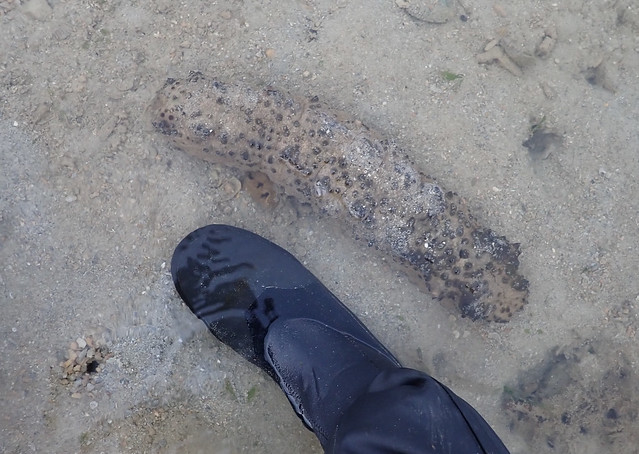 Hermann's sea cucumber (Stichopus herrmanni)