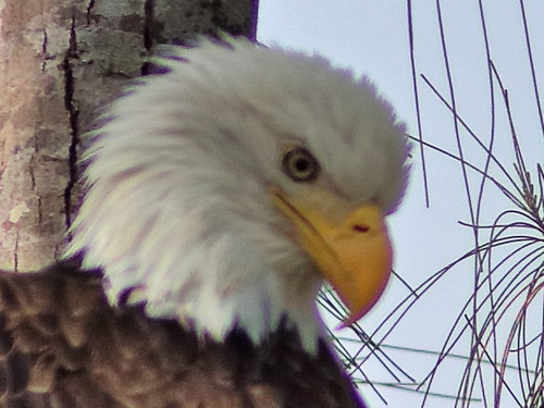 Bald Eagle male Pride portrait 09-20181007