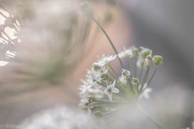 Umbelliferish (Explored), Canon EOS 700D, Sigma 105mm f/2.8 EX DG OS HSM Macro