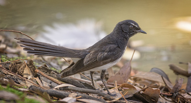 alice river - willie wagtail