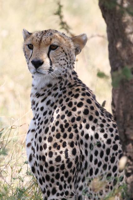 Cheetah relaxed