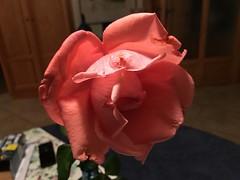 Rose - Photo of Corneilla-la-Rivière
