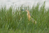 Rallenreiher - Squacco heron - stârc galben - Ardeola ralloides by Andreas Gruber