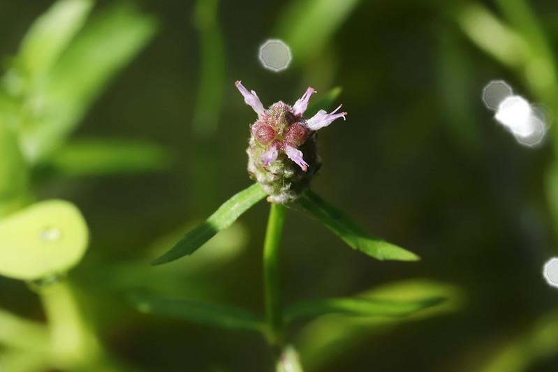Pogostemon stellatus  ミズネコノオ