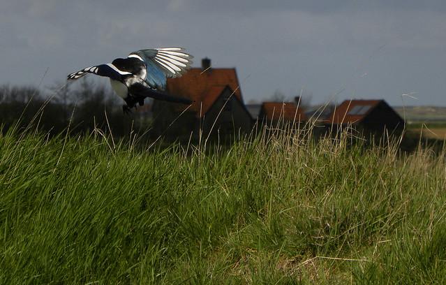 The magpie has landed, Nikon COOLPIX P90