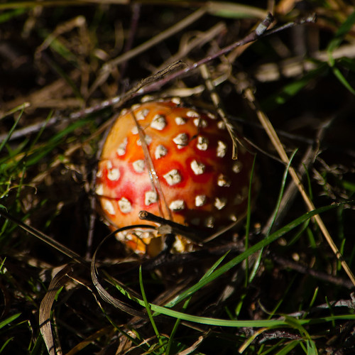 Autumn fungi: fly agaric, recently emerged