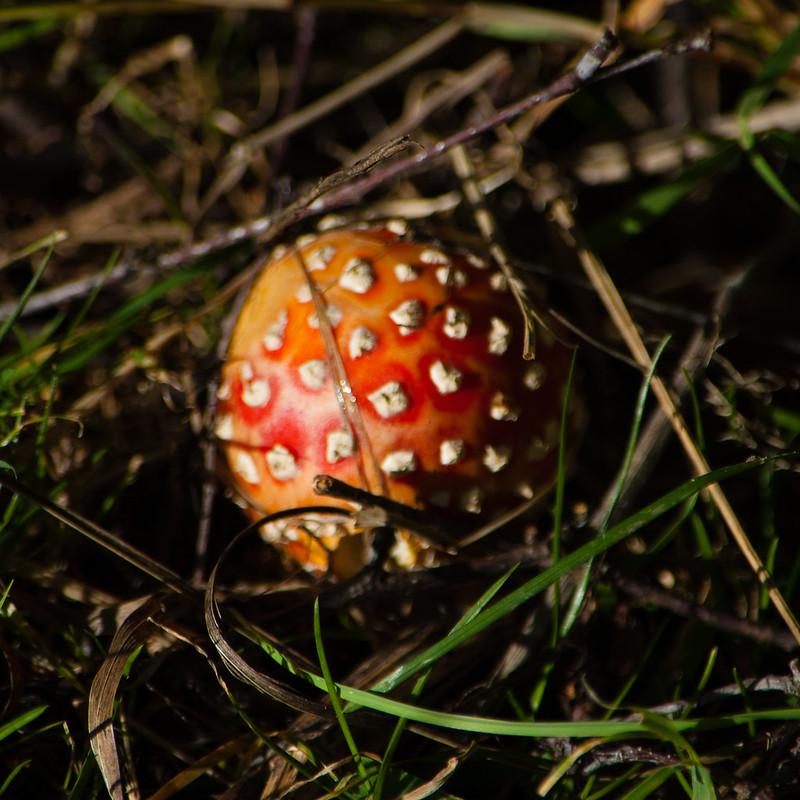 Autumn fungi: fly agaric, recently emerged