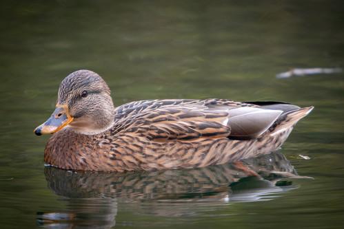 Ms. Duck