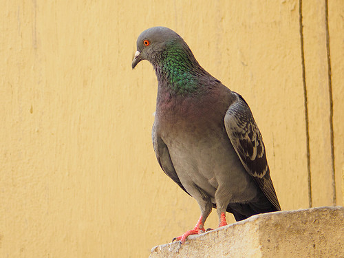 Pigeon | by pkbhat_20032003
