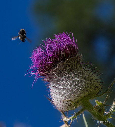 Facing the bull thistle