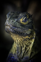 Philppine Sail-Finned Lizard Closeup01
