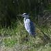 Grey Heron at Chesworth Farm, Horsham