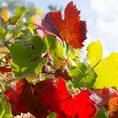 Feuilles de vigne colorées, rouge, vert, jaune
