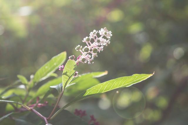Φυτολάκκα η αμερικανική στην Κοιλάδα της Ψίνθου