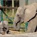 African Elephant with 5 week old calf Nusu.