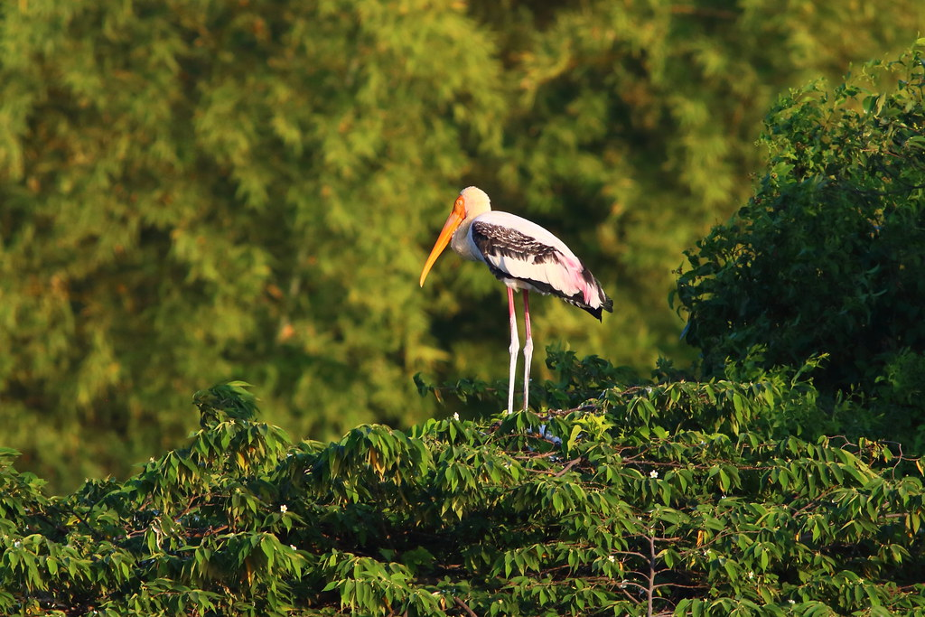 A sleeping painted stork