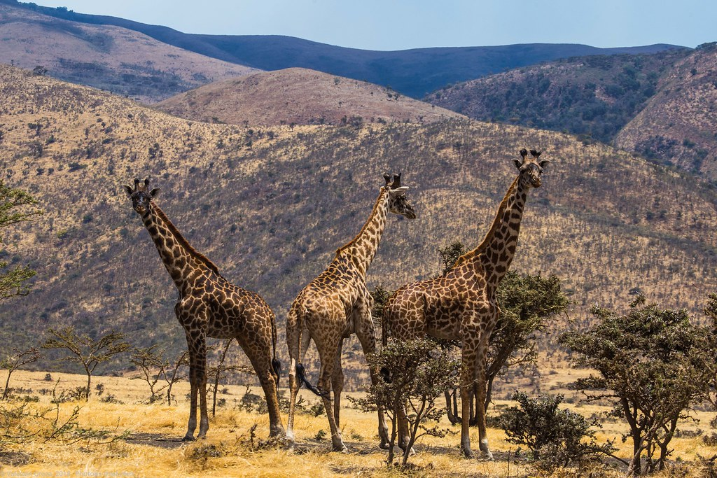Girafe_septembrie 11_Serengeti