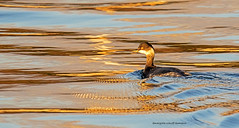 GOLDEN HOUR....svasso piccolo, black necked grebe ...