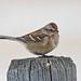 American Tree Sparrow (Spizella arborea) by Don Delaney