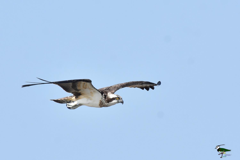 Osprey_1100