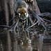 Louisiana Swamp racoon in Reflection