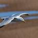 Herring Gull  Hodbarrow RSPB F00403 D210bob DSC_3059