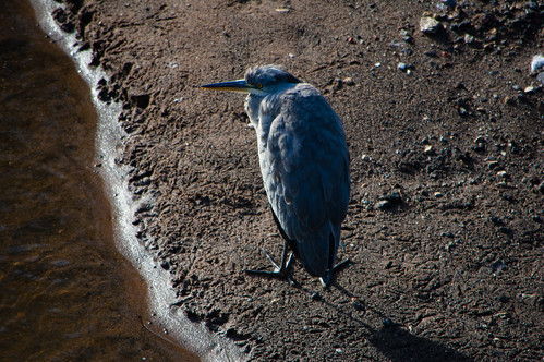 Young heron, Bylet, revisited