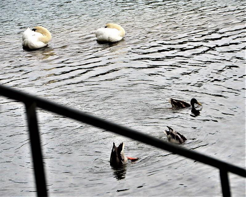 Swans 23.09 (2)