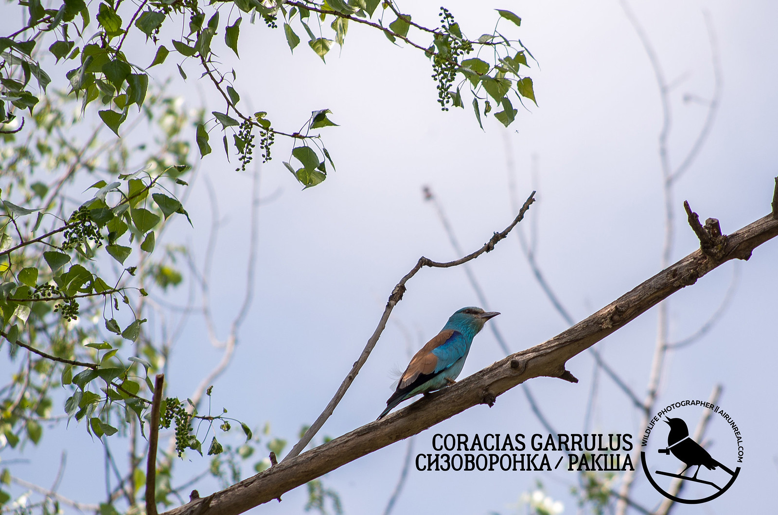 Coracias garrulus // 20180929