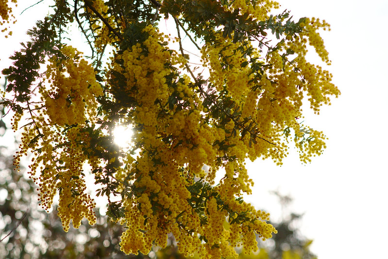 Sun through wattle