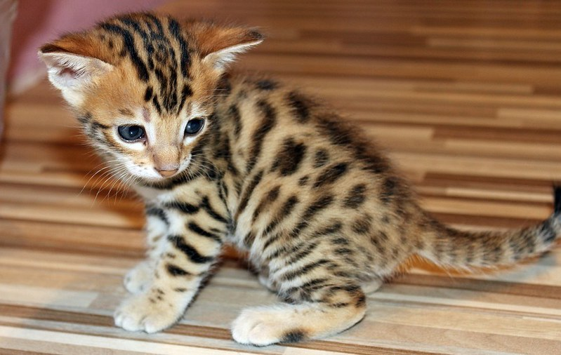 raza de gato bengali