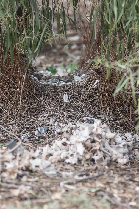 spotted bowerbird bower