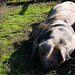 Gloucester old spots dozing, Northycote Farm