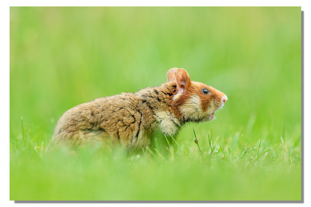 Diese possierlichen Tierchen … Feldhamster