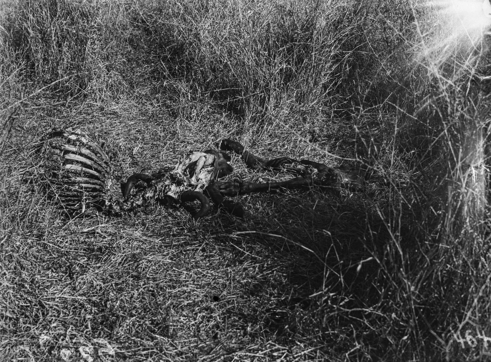 Национальный парк Крюгера. Останки гну, разорванной львами