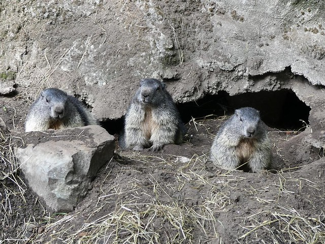 Murmeltier, Tierpark Neumünster