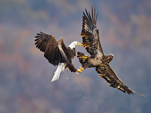 Bald Eagle Battle
