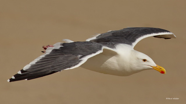 Western Gull, ad., flying, Canon EOS 5D MARK III, EF400mm f/5.6L USM