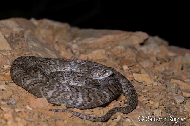 Sonoran Lyre Snake