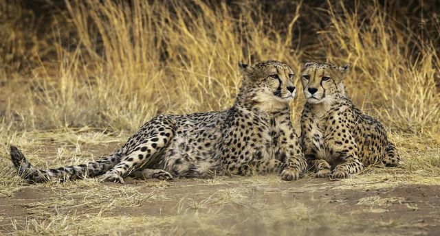 Cheetahs, early morning. Okonjima, Namibia.