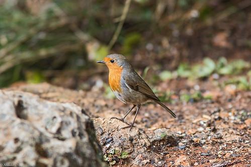 Petirrojo. Robin (Erithacus rubecula)