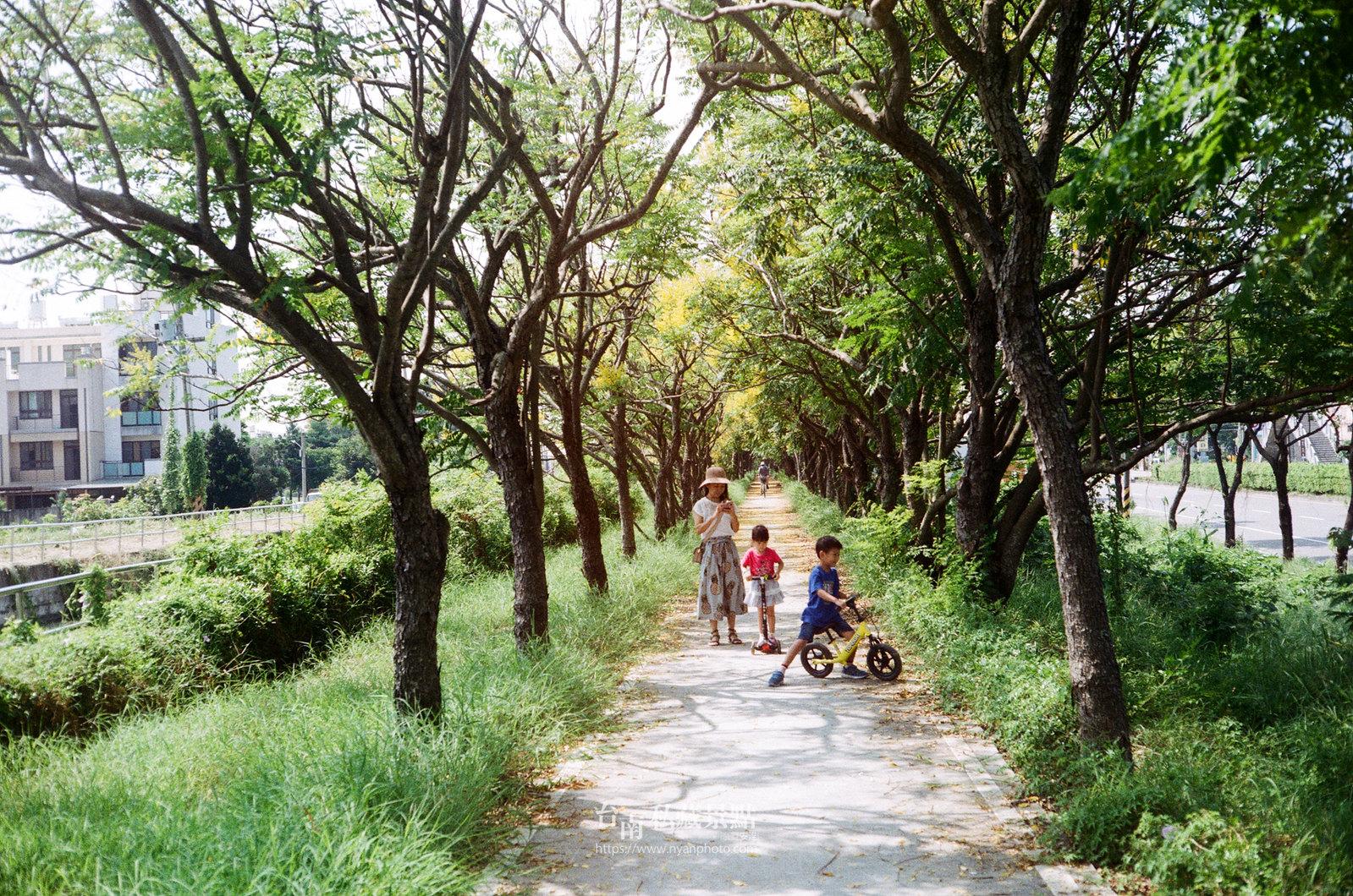 台南台灣欒樹19