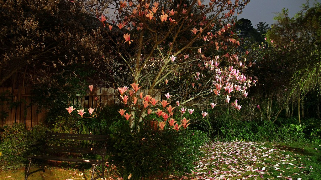 Night Garden Magnolia Heaven Scent Is A Vigorous Small T Flickr