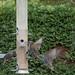 spreeuwen op feeders (3)