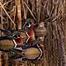 Wood Ducks (Aix sponsa) -03 by keithricflick